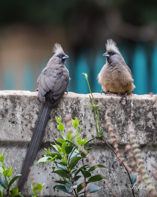 Mousebirds chatting