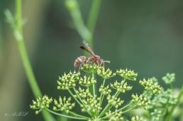 paper wasp Vespidae