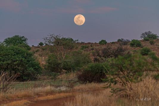 moonrise through bushveld